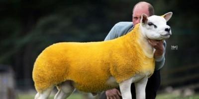 Simak Fakta Domba di Skotlandia yang Dijual Rp7,1 Miliar