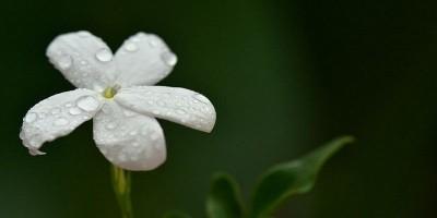 Mengenal Bunga Melati, si Puspa Bangsa Indonesia